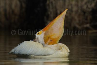 Pelican with Carp