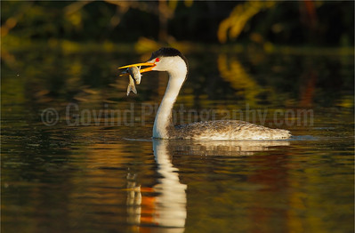 Clark's Grebe with Fish
