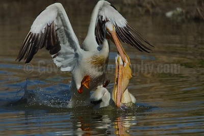 Duelling American White pelicans