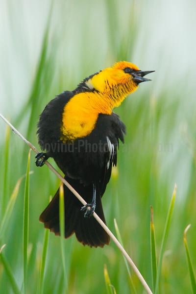 Yellow-headed Blackbird Territorial Song