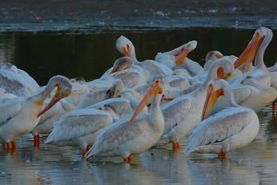 American White Pelicans Grooming before Roost