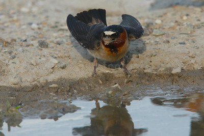 Cliff Swallow Collecting Nesting Material