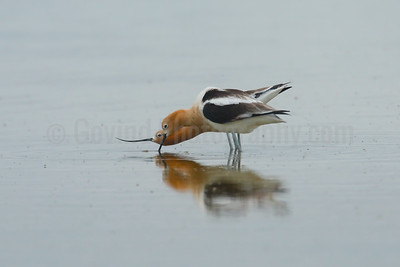 Courting Avocets