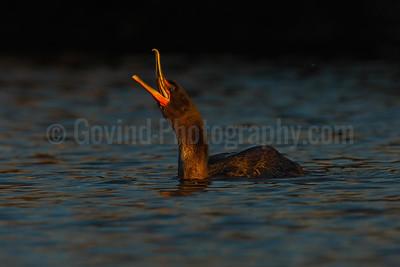 Cormorant Panting