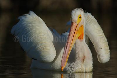 American White Pelican Sunbathing