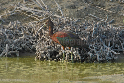 White-faced Ibis (Sub-adult) in Habitat