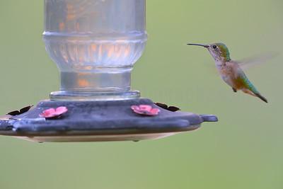 Broad-tailed Hummingbird (Female)