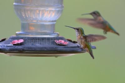Calliope and Broad-Tailed Hummingbirds (Female)