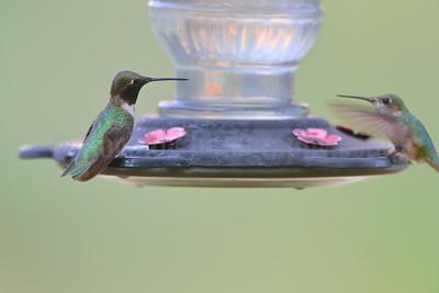 Black-chinned (Male) and Calliope (Female) Hummingbirds