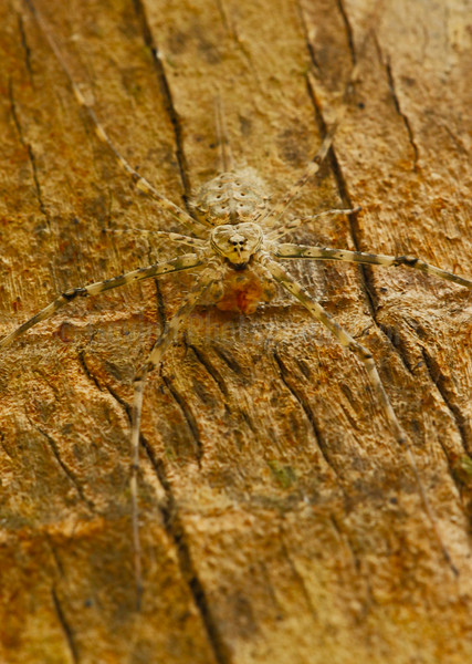 Indian Two-tailed Spider