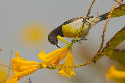 Feeding Purple-rumped Sunbird