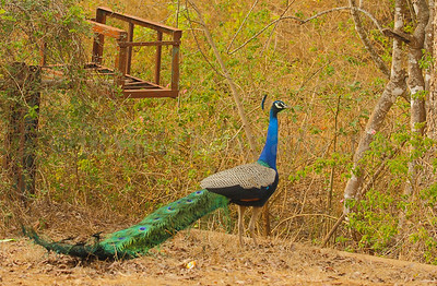 Peacock in Habitat