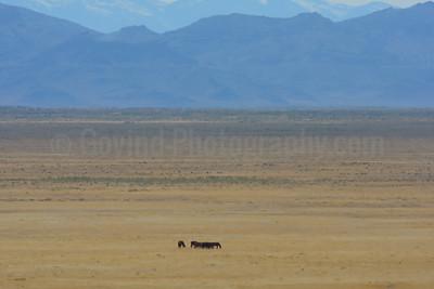 A Wildhorse Herd  on Their Range