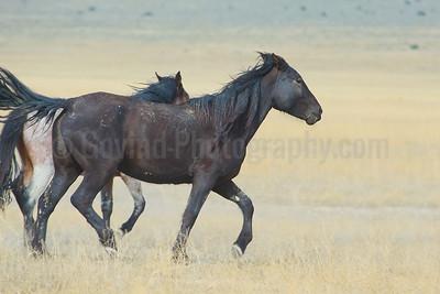 A Stallion on Run