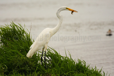 Great Egret with Crawfish