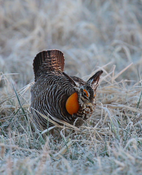 Displaying Greater Prairie Chicken