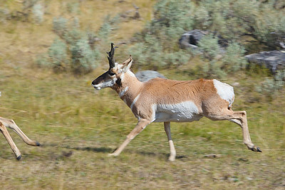 Pronghorn Buck Pursuing a Doe