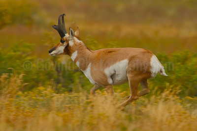 Pronghorn in Gallop