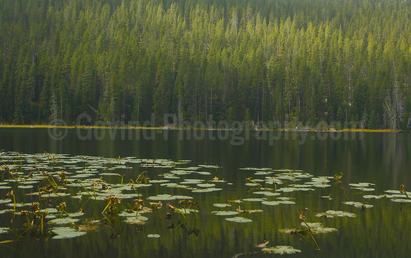 Water-lilies in a Pine-forest
