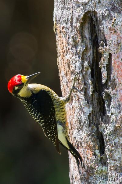 Golden-Naped Woodpecker
