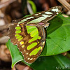 Malachite Butterfly - Malachite or green buttefly on green leaf in Panama