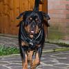 Rottweiler runner - Kajo Casa Bernardelli - 24 months