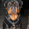 Kajo rottweiler di Casa Bernardelli a 24 mesi