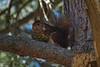 La ardilla que merodea por mi jardín y los de alrededor, dándose un festín en el pino de un vecino.