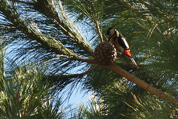 Pico Picapinos - Great spotted woodpecker (Dendrocopos major)