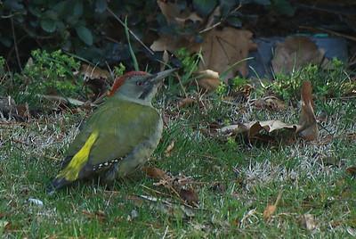 Pito Real - Green woodpecker (Picus viridis)