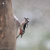 Grote bonte specht Dendrocopos major Buntspecht Great Spotted Woodpecker Pic épeiche