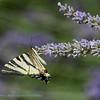 Koningspage; Iphiclides podalirius; Scarce swallowtail; Flambé; Segelfalter