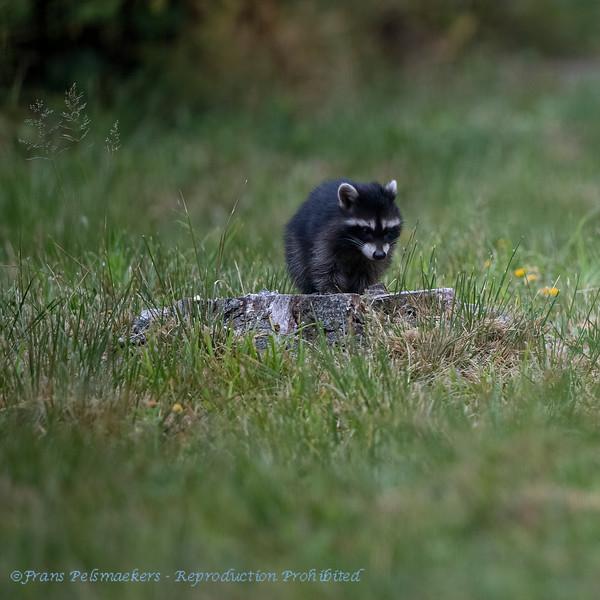 Wasbeer; Gewone wasbeer; Procyon lotor; Raccoon; Raton laveur; Waschbär; melanisme; melanistic
