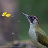 Green Woodpecker Pic vert Picus viridis Grünspecht Groene Specht