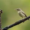 Orpheusspotvogel; Hippolais polyglotta; Melodious warbler; Hypolaïs polyglotte; Orpheusspötter