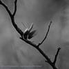 Glanskop  Poecile palustris Parus palustris Marsh tit Mésange nonnette Sumpfmeise