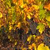 Herfstlandschap, wijngaard, druiven