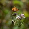 Kleine; Parelmoer; Kleine Parelmoervlinder; Issoria lathonia; Le Petit Nacré; Kleiner Perlmutterfalter; Queen of Spain Fritillary