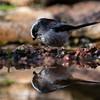 Long-tailed Tit mirroring