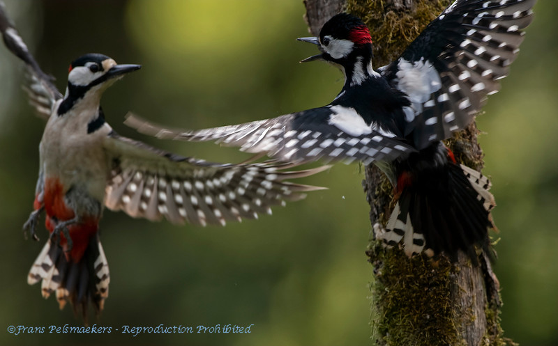 Great Spotted Woodpeckers fighting