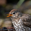 Song Thrush throwing up small stone