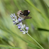 Tijgerblauwtje Lampides boeticus L'Argus Portequeue Geschwänzter Blasenstrauchbläu Longtailed Blue