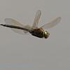 Zuidelijke keizerlibel in de vlucht