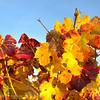 Vines; autumn colors