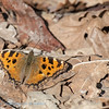 Large tortoiseshell in company of spider