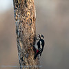 Dendrocopos major; Buntspecht; Great Spotted Woodpecker; Pic épeiche; Grote Bonte Specht