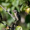 Kleine bonte specht; Dendrocopos minor; Lesser spotted woodpecker; Pic épeichette; Kleinspecht