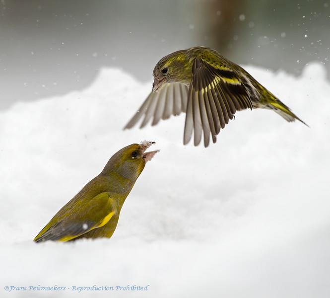 Greenfinch & Siskin