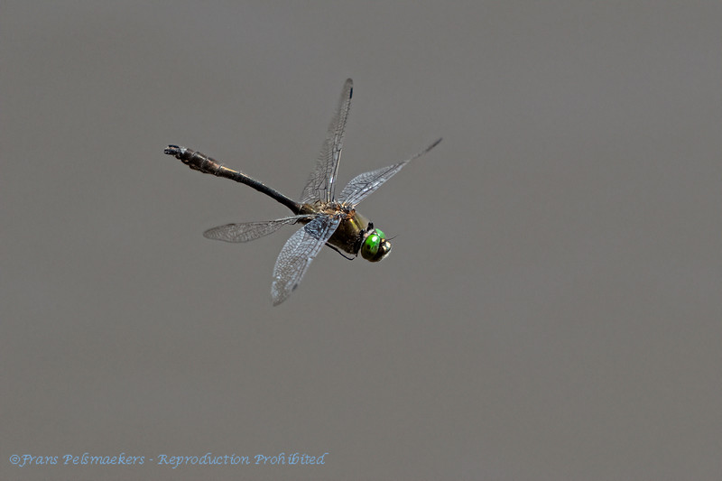 Smaragdlibel; Cordulia aenea; Falkenlibelle; Gemeine Smaragdlibelle; Downy emerald; Cordulie bronzée