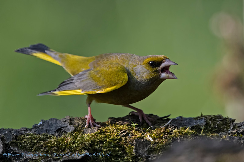 Greenfinch angry bird